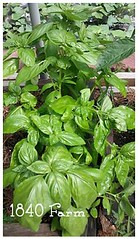 "Heirloom Genovese Basil • <a style=""font-size:0.8em;"" href=""http://www.flickr.com/photos/54958436@N05/9291201615/"" target=""_blank"">View on Flickr</a>"