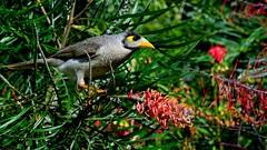 Noisy Minor (Geoffsnaps) Tags: bird nature feathers australia queensland denise v1 grevillea goldcoast noisyminor nikon1 mirrorless rosserpark 30110mm