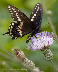 Black Swallowtail Butterfly (JLyn Nature Photography) Tags: augusta swallowtail blackswallowtail phinizyswamp phinizy