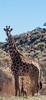 Mini Me (CD_MT) Tags: africa closeup southafrica mammal wildlife safari spots giraffe northerncape barkleywest mygearandme mygearandmepremium vigilantphotographersunite ubathi