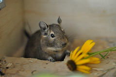 Leia with Black-Eyed Susan (AlpineDaisy) Tags: wood wooden natural susan cage diet degu blackeyed degus octodondegus octodon