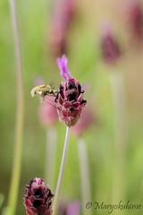Libando el Cantueso (Maryokuhime) Tags: flor insecto elescorial lavandulastoechas lasilla cantueso