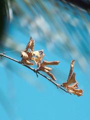 - (kassiamelo) Tags: blue light sky luz nature azul photography photo shadows natureza cu fotografia sombras galho folhassecas