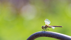 Dragonfly (Viktor Mayorov) Tags: summer macro canon insect spider dragonfly 100mm