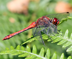 Male Ruddy darter - Sympetrum sanguim (Roger H3) Tags: insect dragonfly darter odonata ruddy