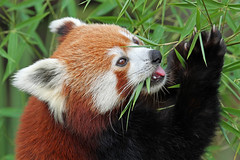 Red Panda (Buggers1962) Tags: portrait nature face animal closeup canon mammal zoo panda close wildlife redpanda colchester colchesterzoo greatphotographers itsazoooutthere canon7d coppercloudsilvernsun highqualityanimals