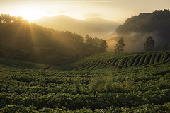 Royal Project (jijirawat) Tags: thailand farm strawberries doi angkhang chiangmaithailand