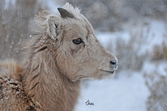 Bighorn Lamb in the Snow - 9735b+ (teagden) Tags: winter portrait baby closeup photography nikon sheep wildlife snowstorm young horns lamb snowing bighorn bighornsheep fallingsnow wildlifephotography 2013
