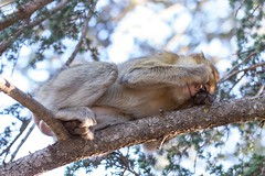 Barbary macaque 5 (Ryoushi no syokubutsuen) Tags: art sahara nature landscape desert arabic berber marocco marrakech magrib almagrib medrassa