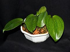 bulbophyllum reticulatum (Eerika Schulz) Tags: bulbophyllum reticulatum eerika schulz