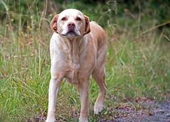 Labrador (Flimin) Tags: dog goldenretriever labrador sigma canine retriever goldenlabrador sigmalens 70d 50150mm sigma50150mm canon70d vision:plant=0567 vision:outdoor=0943