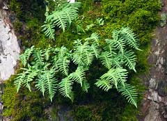 Tree Ferns (Orbmiser) Tags: winter tree oregon portland moss nikon ferns d90 55200vr
