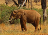 The Lone Grazer (Rainbirder) Tags: kenya samburu africanelephant loxodontaafricana africansavannahelephant rainbirder