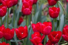 Tulip (ddsnet) Tags: plant flower sony taiwan cybershot tulip   taoyuan       rx10   851