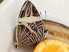 Zebra Mosaic Butterfly (Ger Bosma) Tags: mosaicbutterfly coloburadirce zebramosaic dircebeauty zebramosaicbutterfly 2mg19130