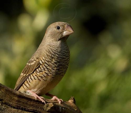 Red-headed Finch female_0016