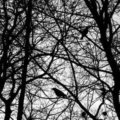 Crows (Phonatics) Tags: park white black bird switzerland nikon lausanne crows squared d300 valency