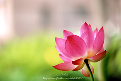 20120522DSC_4296 (bibi.barbie) Tags: flower lotus taiwan      nikond80