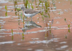 solitary sandpiper (laurie_frisch) Tags: storm pond before iowa rapids cedar solitary sandpipier