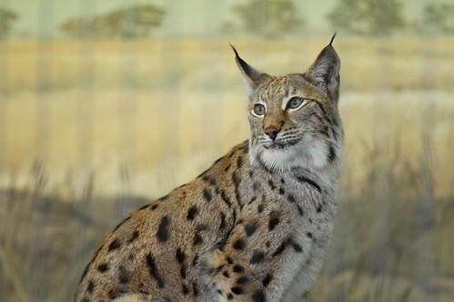 eurasian lynx lincoln park zoo
