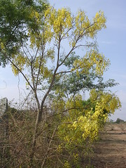 Cassia fistula (Golden shower) flowers (  - Shnti Dhma) Tags: flowers trees india bangalore karnataka yellowflowers vishu goldenshower reforestation cassiafistula medicinalplants afforestation hesaraghatta konna kanikonna shanthidhama kanikkonna indigenousplants treesofbangalore stateflowerofkerala sonnenahalli doddaballapura shantidhama challahalli shantidhamain wwwshantidhamain karlapura chellahalli flowersofbangalore haniyuru haniyoor nationalflowerofthailand