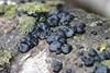 Exidia sp. (Black Jelly Fungus) on Quaking Aspen Log (Gary Walton) Tags: nature fungus quakingaspen jellyfungus exidia blackfungus tremellales populustremuloides heterobasidiomycetes garywalton