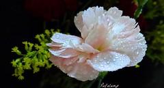 Tears In Heaven (Pufalump) Tags: pink white black flower macro green water yellow droplets petals drops heaven sony ericclapton carnation tearsinheaven