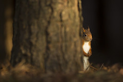 Red Squirrel (Daniel Trim) Tags: wood uk red england cute pine liverpool mammal squirrel european wildlife cuddly vulgaris formby sciurus