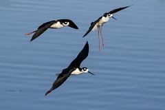 Black-necked Stilts (Trent Bell) Tags: california bird blackneckedstilt socal birdwatching irvine stilt 2015 sanjoaquinwildlifesanctuary