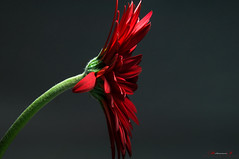 Gerbera3 (aniribe) Tags: light shadow red stilllife flower color green closeup nikon creative gerbera