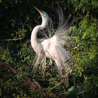 Displaying Egret