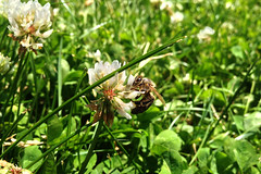 Macro 008 (olivier.kerbidi) Tags: flowers green nature garden bees
