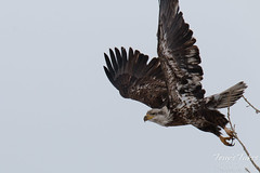 Juvenile Bald Eagle launches into the air