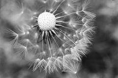 delicate dandelion (snickoel) Tags: blackandwhite bw plant macro nature monochrome blackwhite weed bokeh dandelion wish whiteblack