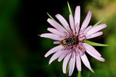 Oxythyrea funesta (luporosso) Tags: flowers naturaleza flores flower macro nature fleur closeup insect nikon flor natura fiori fiore insetto insetti naturalmente nikond300s