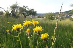 Maiwiese 1 (mellane.karin) Tags: blossom may wiese mai blte wiesenblume wisenpippau