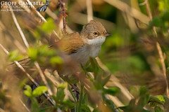 Common Whitethroat (Sylvia communis) (gcampbellphoto) Tags: bird nature wildlife avian warbler ballycastle migrant nothernireland commonwhitethroat northantrim sylviacommunis gcampbellphoto