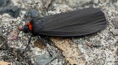 Rotkragen-Flechtenbrchen (ursula.kluck) Tags: nachtfalter fluginsekt nachtaktiv atolmisrubricollis schwarzeflgel tagaktiv rotkragenflechtenbrchen brenspinnerarctiinae orangerthorax