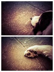 Head to Toe (Robots are Stupid) Tags: uk sleeping england dog fur nose foot paw nikon diptych collie hand unitedkingdom sleep slumber duo sheepdog canine double tired snoopy harvey d750 rest doggy resting bordercollie tiredness sleepingdog colliedog farmdog workingdog coldwetnose daviddalley davidjdalley horribleharvey sigma105mmf28dgmacrohsm nikond750