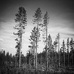 Sub-Alpine Forest, Central Oregon (Robert_Brown [bracketed]) Tags: bw mountain pine oregon forest square bend central samsung mount alpine bachelor squareformat fir inkwell s6 iphoneography instagramapp uploaded:by=instagram