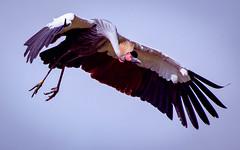 kranich (torivonglory) Tags: sky bird crane himmel vogel intheair birdpark flightshow kranich vogelpark inderluft flugshow weltvogelparkwalsrode weltvogelpark