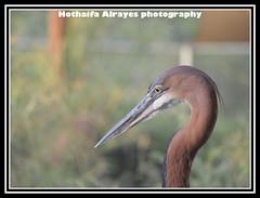 #بوكيه #بورتريت #طائر #طيور #البلشون_الجبار #البلشون_العملاق #محمية_واسط_للأراضي_الرطبة #تصوير #تصويري #الشارقة #الإمارات        #uae #sharjah #bird #bokeh #portrait #birds #epaa #epaashj #heron #giant_heron #مركز_واسط_للأراضي_الرطبة (alrayes1977) Tags: portrait bird heron birds bokeh uae sharjah الإمارات تصوير تصويري الشارقة طيور giantheron طائر epaa بورتريت بوكيه مركزواسطللأراضيالرطبة epaashj محميةواسطللأراضيالرطبة البلشونالجبار البلشونالعملاق