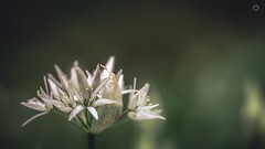 It Ain't Easy Being Green (Augmented Reality Images (Getty Contributor)) Tags: light shadow flower macro nature forest canon scotland petals spring flora bokeh perthshire stamen wildgarlic