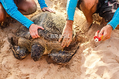 NE_Noronha0065 (Visit Brasil) Tags: travel viaje brazil sun tourism beach nature animal horizontal brasil fauna island diving playa sealife unesco turismo isla fernandodenoronha pernambuco cultura baadosueste nordeste detalhe ecoturismo ferramentas externa projetotamar comgente diurna brazilianbeaches sunandbeach visitbrasil brasil|nordeste brasil|nordeste|pernambuco brasil|nordeste|pernambuco|fernandodenoronha brasil|nordeste|pernambuco|fernandodenoronha|baadosueste brasil|nordeste|pernambuco|fernandodenoronha|projetotamar