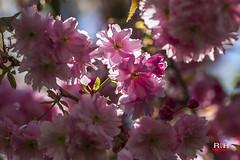 Bloesem (robdeheer) Tags: flowers holland macro nature colors fleurs garden colours blossom nederland natuur tuin blume bloesem bloemen macrophotography kleuren flowerart flowerphotography macrofotografie