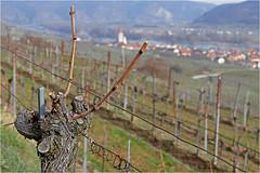 Wachau 16.15 (lady_sunshine_photos) Tags: austria europa niedersterreich wachau frhling weinstock weingarten weisenkirchen