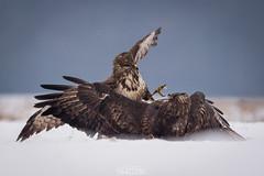 Snow fight (lookashG) Tags: winter snow bird nature birds animal animals fauna fight action wildlife natura aves wintertime zima animalia buteobuteo nieg 300mmf28 ptak walka ptaki commonbuzzard zwierzta myszow akcja lookashggmailcom ukaszgwidziel sonyilca77m2