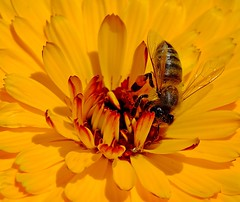 Macro Shot With Kenko Close-up Filter (daniyal62) Tags: flower macro nature closeup fuji bee fujifilm kenko xa1 xc1650mm