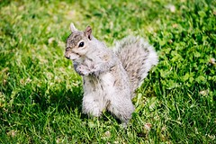 Squirrel from Central Park (odysseyears) Tags: newyork centralpark manhattan