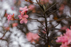 .:: Promises II ::. (omjinphotography) Tags: pink flowers tree nature petals blossom bokeh photoart plasticlens 50mmlens singleexposure theruleofthirds canon1100d rebelt3 omjinphotography
